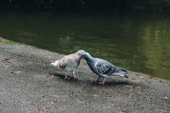 Целовать голубя Стоковые Фото