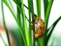 Цикада вползая из своей раковины Стоковая Фотография