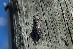 Цикада на древесине Стоковые Изображения
