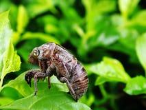 цикада перелиняла кожа стоковое изображение
