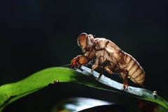 цикада Стоковая Фотография RF