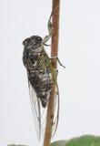 цикада стоковые фото