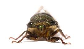 цикада Стоковое Фото