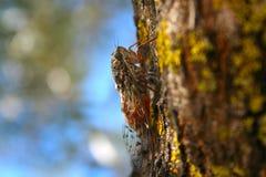 цикада Стоковое Изображение RF