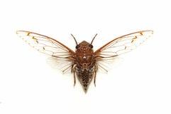 цикада Стоковое фото RF