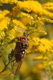цикада Стоковая Фотография