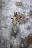 Цикады вытекая Стоковые Фотографии RF