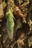 Цикада выходя раковина на дерево Стоковые Фотографии RF