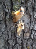 Цикада 17 год Metamorphous Стоковые Изображения