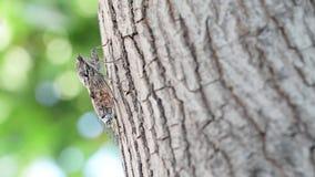 Цикада закамуфлированная на оливковом дереве сток-видео