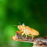 Цикада линяя свою раковину Стоковая Фотография