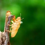 Цикада линяя свою раковину Стоковая Фотография RF