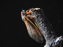 Цикада наблюданная красным цветом Стоковая Фотография