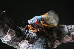 Цикада на ветви Стоковое Изображение RF