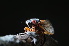 Цикада на ветви Стоковые Изображения