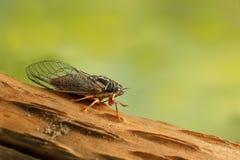 Цикада Euryphara, двигая вниз на хворостину с зеленой предпосылкой Стоковые Фотографии RF