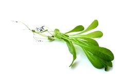 цикорий органический Стоковые Изображения RF