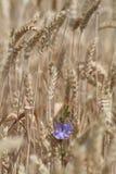цикорий 2 син малый Стоковые Фотографии RF