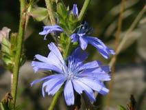 Цикорий (intybus Cichorium) Стоковые Изображения