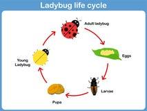 Цикл вектора ladybug для детей иллюстрация вектора