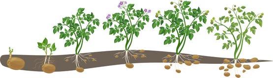 Цикл выращивания растения картошки Стоковые Фотографии RF