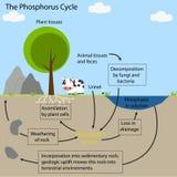 Цикл фосфора Стоковые Изображения