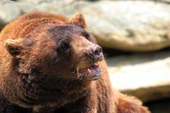 циннамон медведя черный Стоковое Изображение RF