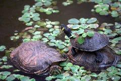 циркаческие черепахи пруда Стоковые Изображения RF