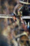 циркаческий муравей Стоковые Изображения RF