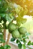 Цитрусовые фрукты бергамотов oraganic стоковое изображение rf