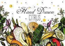 Цитрусовые фрукты чертежа руки Бесплатная Иллюстрация