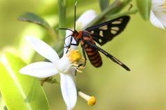 цитрус бабочки цветет сумеречница лимона Стоковое Изображение RF
