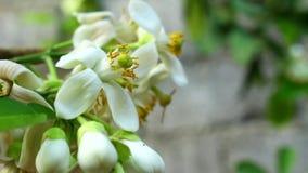 Цитрус белого цветка акции видеоматериалы