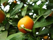 Цитрус висит на фруктовом дерев дереве, в росте Стоковая Фотография