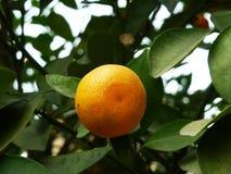 Цитрус висит на фруктовом дерев дереве, в росте Стоковые Фотографии RF