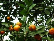 Цитрус висит на фруктовом дерев дереве, в росте Стоковая Фотография RF