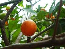 Цитрус висит на фруктовом дерев дереве, в росте Стоковое Изображение