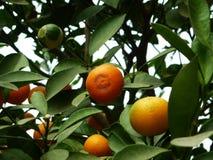 Цитрус висит на фруктовом дерев дереве, в росте Стоковое фото RF