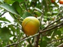 Цитрус висит на фруктовом дерев дереве, в росте Стоковое Фото