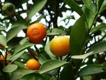 Цитрус висит на фруктовом дерев дереве, в росте Стоковые Изображения RF