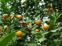 Цитрус висит на фруктовом дерев дереве, в росте Стоковые Фото