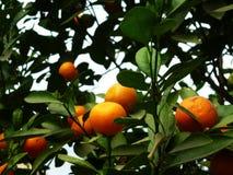 Цитрус висит на фруктовом дерев дереве, в росте Стоковое Изображение RF