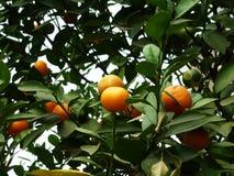 Цитрус висит на фруктовом дерев дереве, в росте Стоковые Изображения