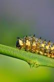 цитрус гусеницы ветви Стоковые Изображения RF