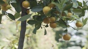 Цитрус дерева мандарина, апельсин, земледелие, еда, свежая видеоматериал