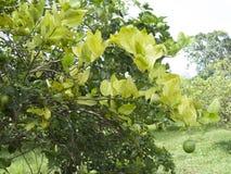 Цитрус зеленея HLB huanglongbing листья и плодоовощи желтого дракона больные Стоковое Изображение