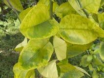 Цитрус зеленея HLB huanglongbing листья и плодоовощи желтого дракона больные Стоковая Фотография