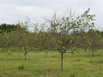 Цитрус зеленея HLB huanglongbing листья и плодоовощи желтого дракона больные Стоковые Фотографии RF