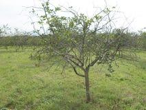 Цитрус зеленея HLB huanglongbing листья и плодоовощи желтого дракона больные Стоковое Фото