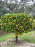 Цитрус смертной казни через повешение на дереве Стоковое фото RF